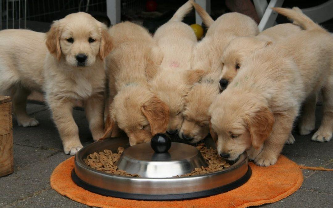 Toxiques, les croquettes pour chiens ?