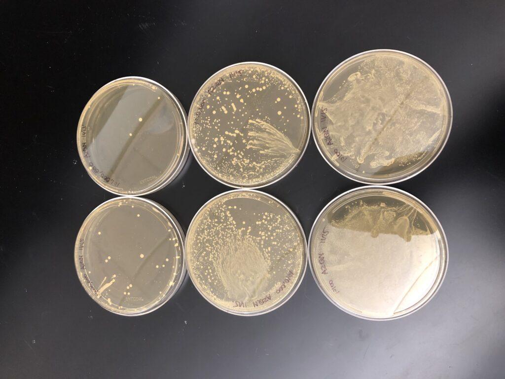6 petri dish remplis de probiotiques, bons pour le système immunitaire