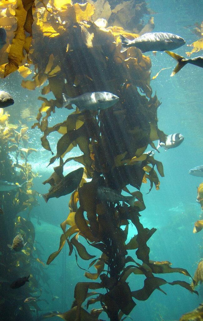 Ascophyllum nodosum, encore appelé kelp ou varech