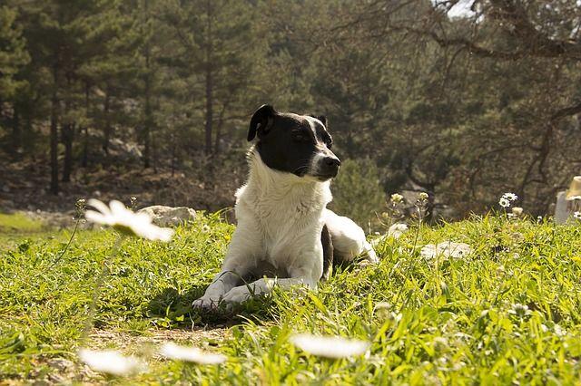 Homéopathie pour le chien, médecine naturelle