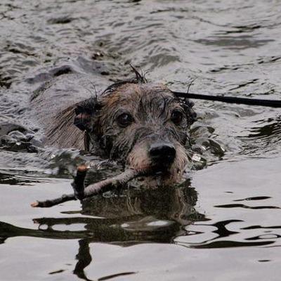 Nage-sport-idéal-pour-chien-souffrant-d-arthrose