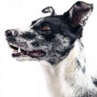 Comment utiliser les huiles essentielles chez le chien