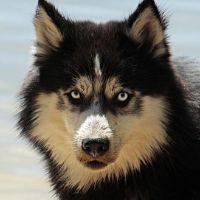 Le-Husky-sibérien