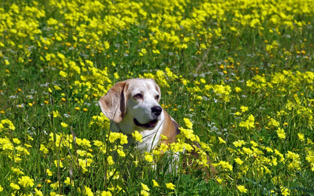 Mon chien est allergique : solutions naturelles