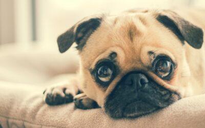 Apprendre à son chien à rester seul
