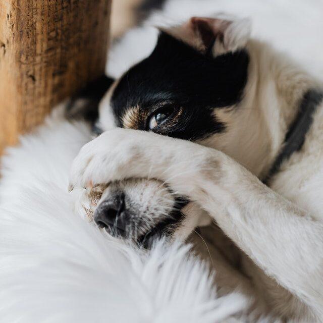 chien qui se cache
