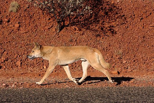 le dingo est acclimaté au désert