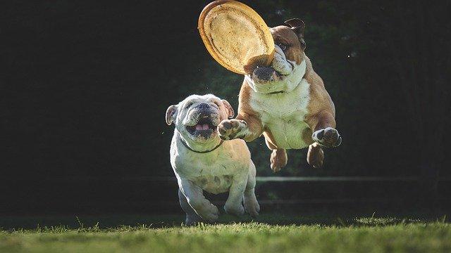 Le coup de chaleur chez le chien peut survenir suite à une activité intense