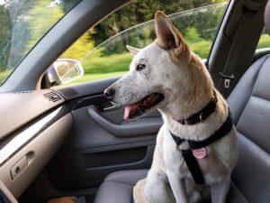 Le chien attrape facilement un coup de chaleur dans la voiture