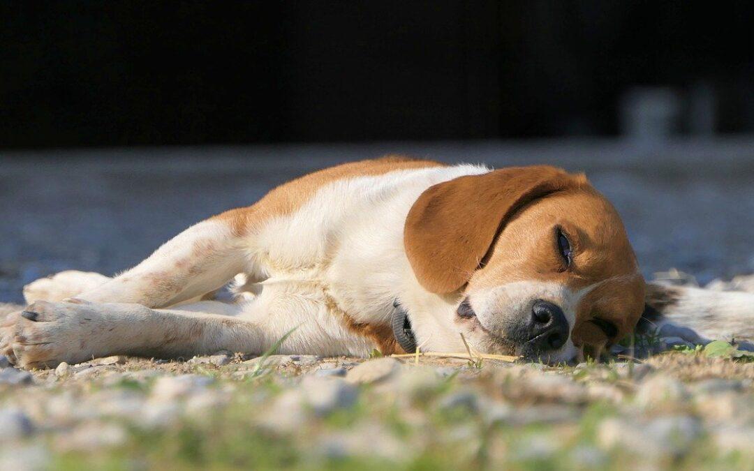 Sensibilité du chien au coup de chaleur