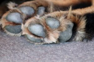Les coussinets du chien souffrent sur le trottoir bouillant