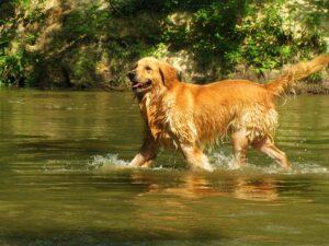 Mouillez le chien dans un ordre précis pour le rafraichir lors d'un coup de chaleur
