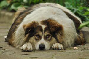 Un chien en surpoids est plus sensible au coup de chaleur