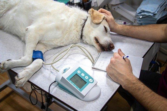 Après un coup de chaleur, il faut consulter le vétérinaire pour son chien