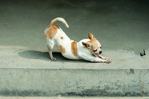 est-ce que votre chien s'étire? l'ostéopathe peut aider