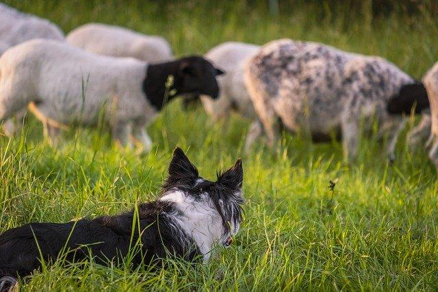 L'instinct du chien de berger