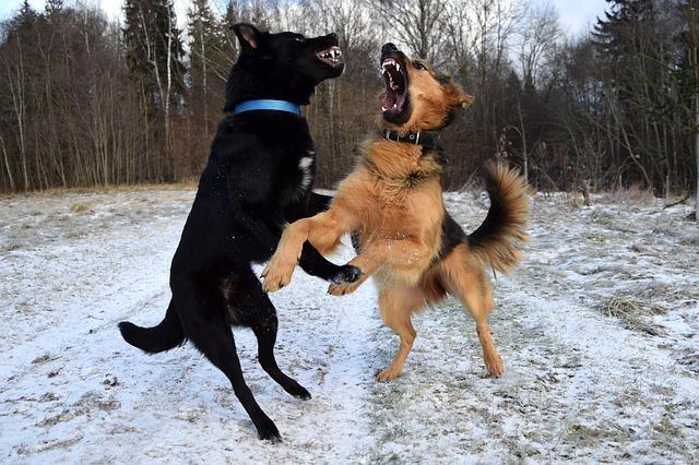 un chien qui souffre peut devenir agressif