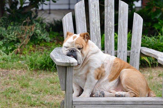 Mon chien est trop gros : surpoids, obésité et comment le faire maigrir