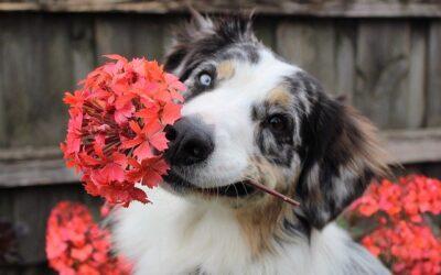Cas pratiques de fleurs de Bach et autres élixirs floraux pour le chien