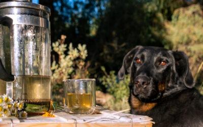 Atelier pratique – Préparer et donner une infusion de plante à mon chien : exemple du plantain