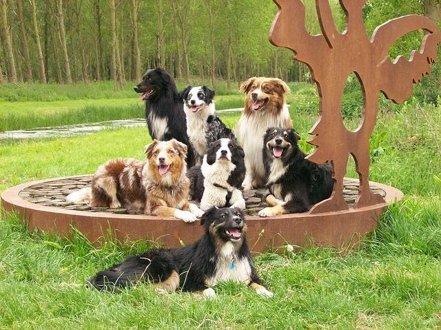 Trouver sa place dans le groupe, les élixirs floraux Mimulus et Centaury peuvent aider votre chien
