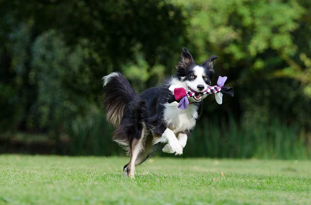 Le chien hyperactif, difficile de le calmer : pensez élixirs floraaux Vervein et Camomille