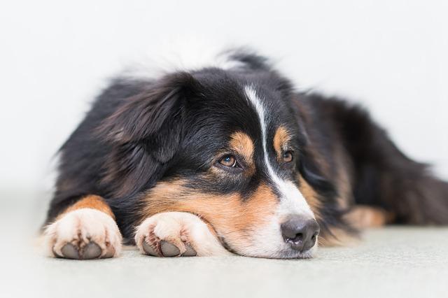 Les élixirs floraux accompagnent votre chien pour sa santé mentale
