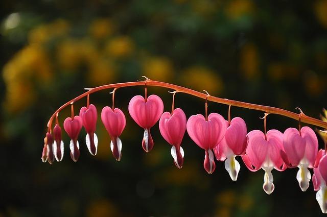 L'élixir floral coeur de marie pour surmonter les peines de coeur et repartir